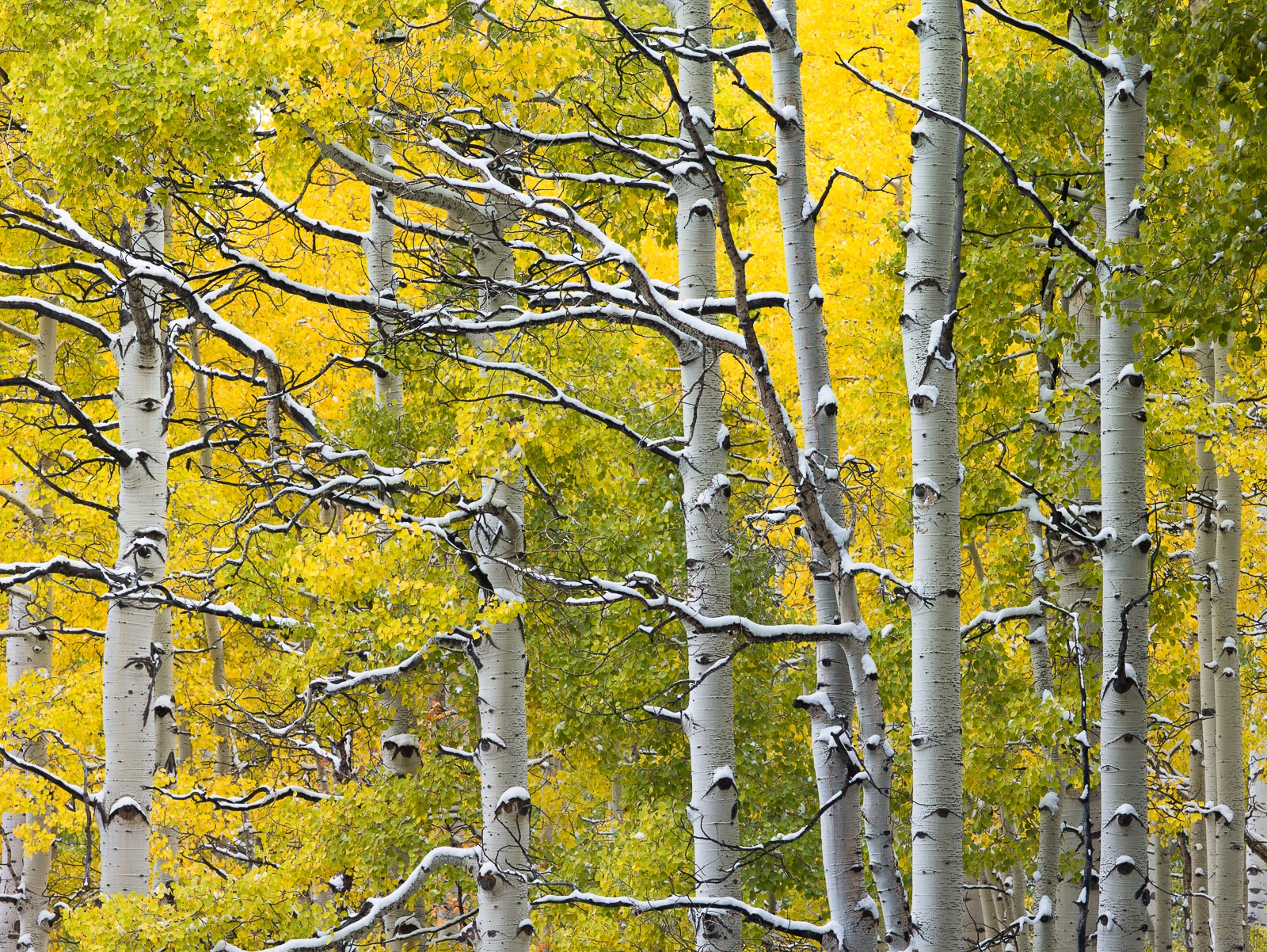 Snowy Branches,Uinta National Forest, Utah,snow,brown trees, photo