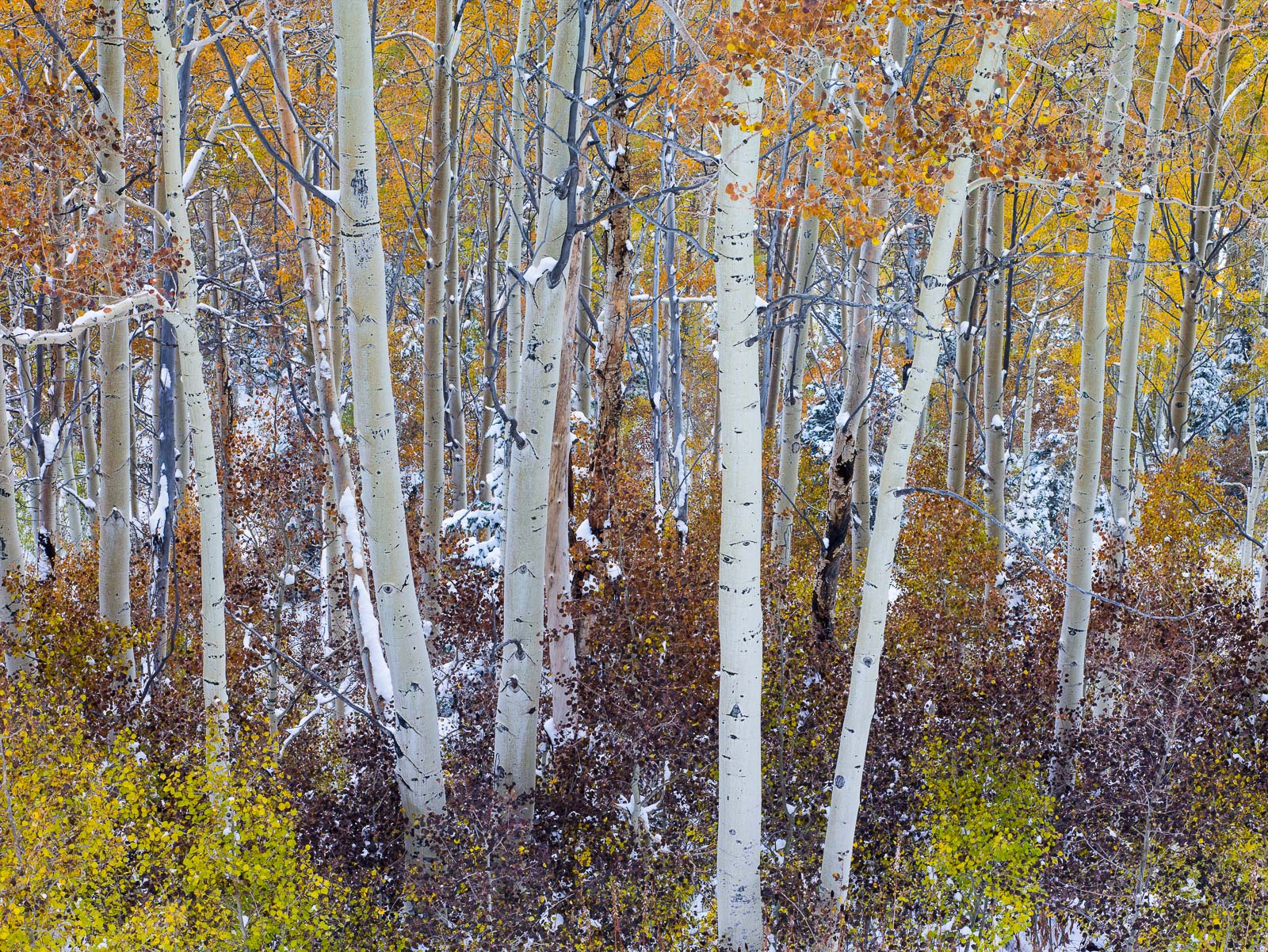 Catching Flakes,Wasatch National Forest, Utah,autumn,color,snow,storm, photo