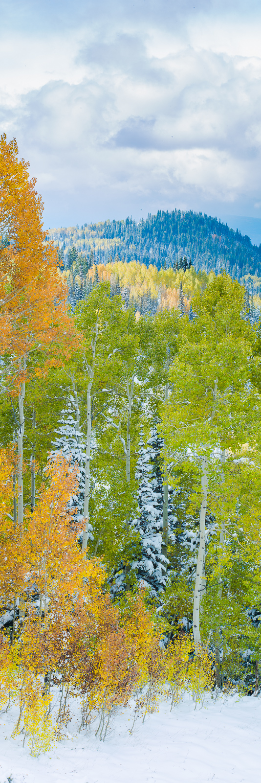 Start of Winter,Aspen,Fall,Trees,Yellow,autumn,panoramic,snow,vertical, photo