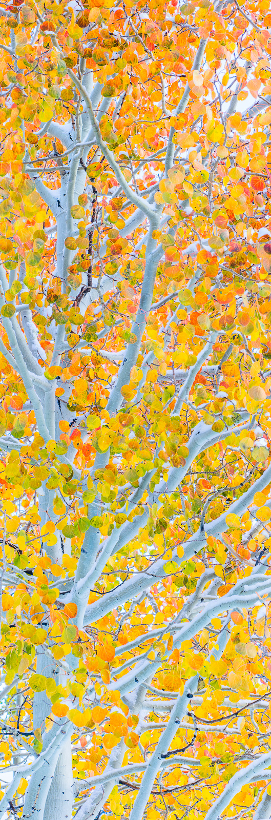 Fire-n-Ice,Aspen,Fall,Orange,Trees,Yellow,autumn,panoramic,snow,vertical, photo