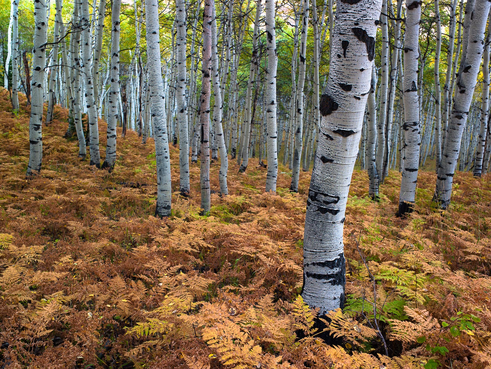 Within the Ferns,Autumn,Birch Tree,Forest,Utah,horizontal, photo