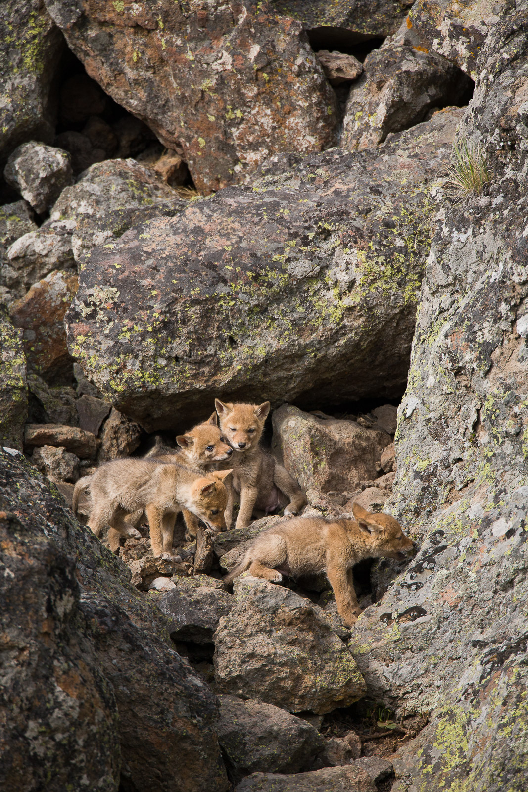 Siblings,Siblings,Yellowstone national park, coyote,venture,rock,caverns,world,vertical, photo