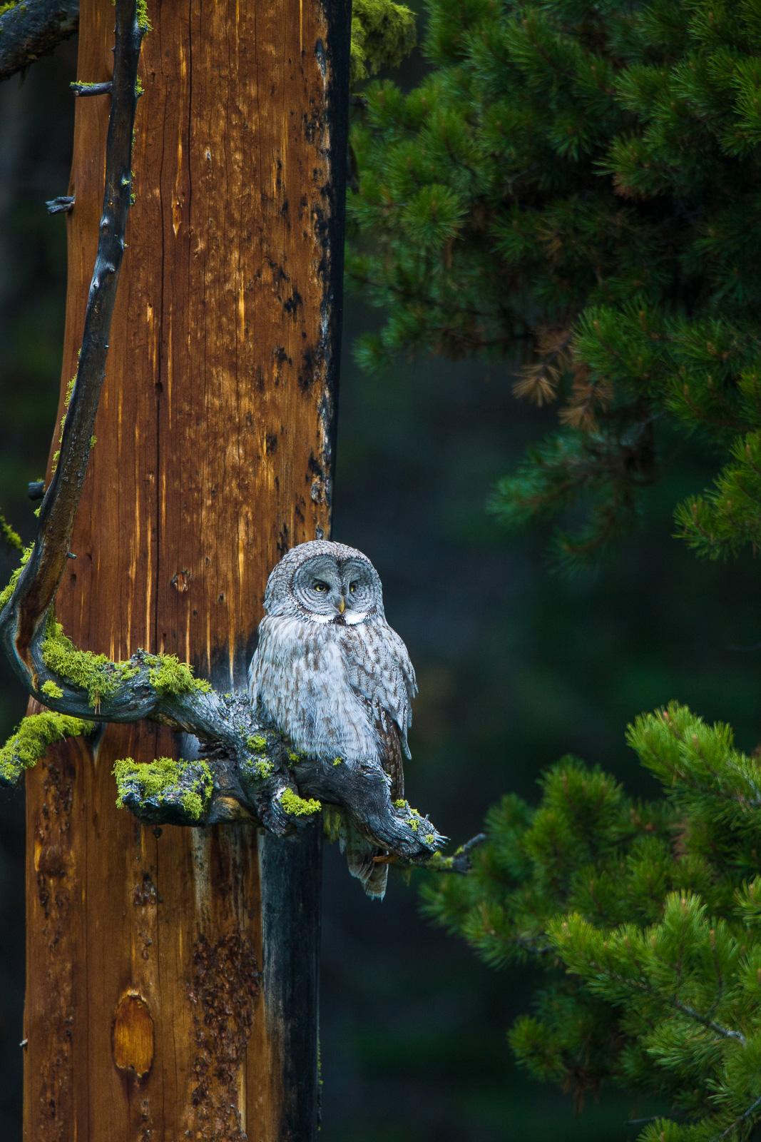 Hoo Hoo's Watching?,Great Grey Owl, bird, Strix nebulosa, Yellowstone National Park, photo