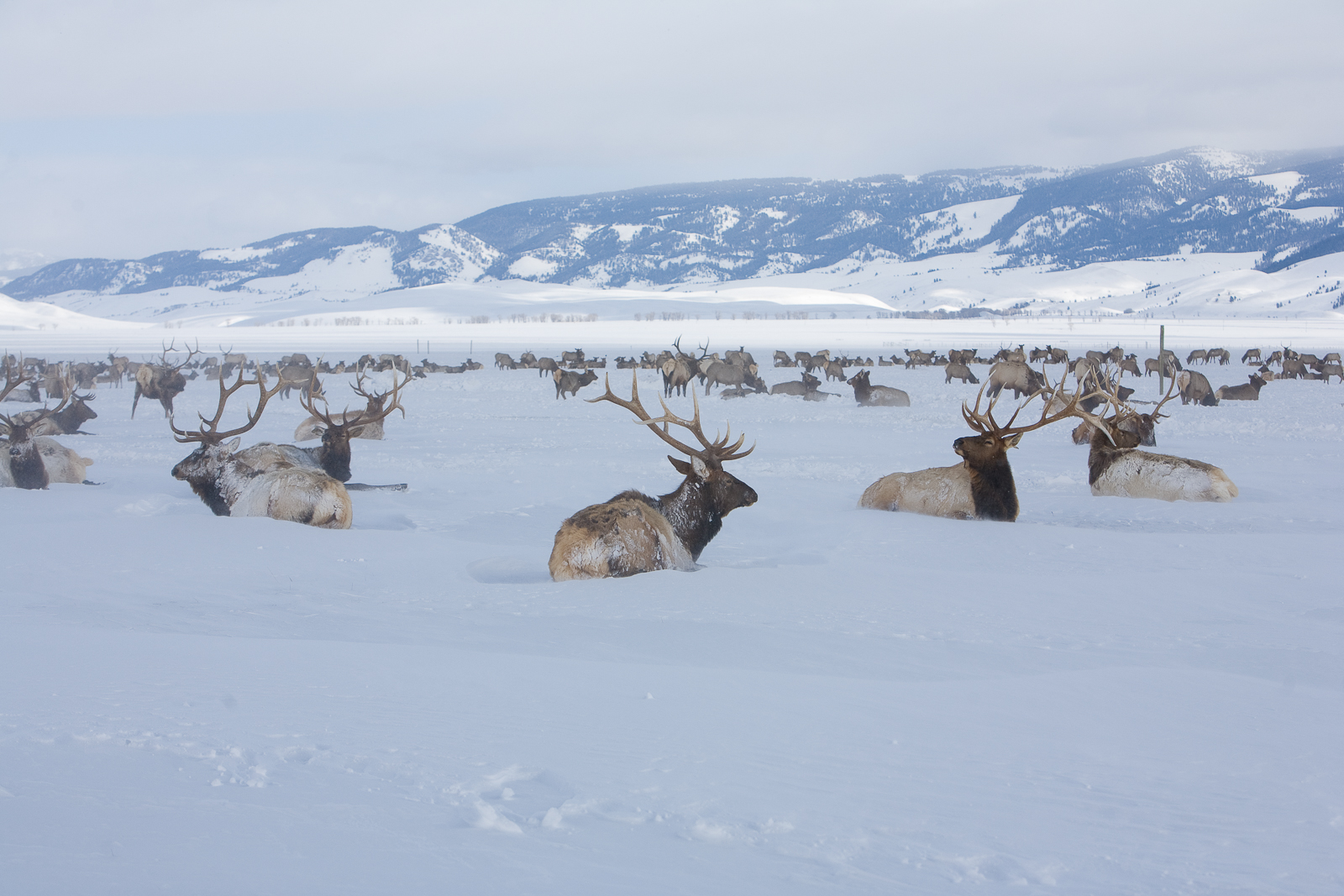 Hanging with the Guys,National Elk Refuge, Wyoming,cold,Winter,valley, elk, photo