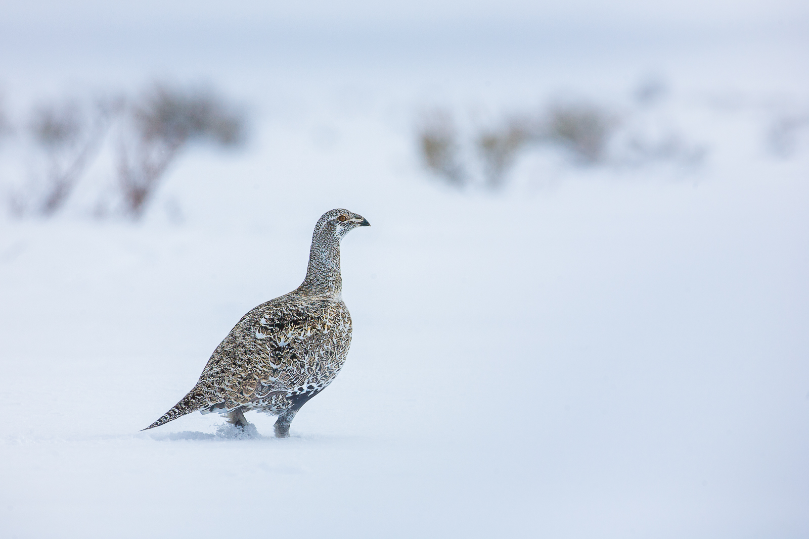 Winter Walk,Grand Teton National Park, Greater Sage-Grouse, Snow, Upland Game Birds, Wildlife, Winter, photo