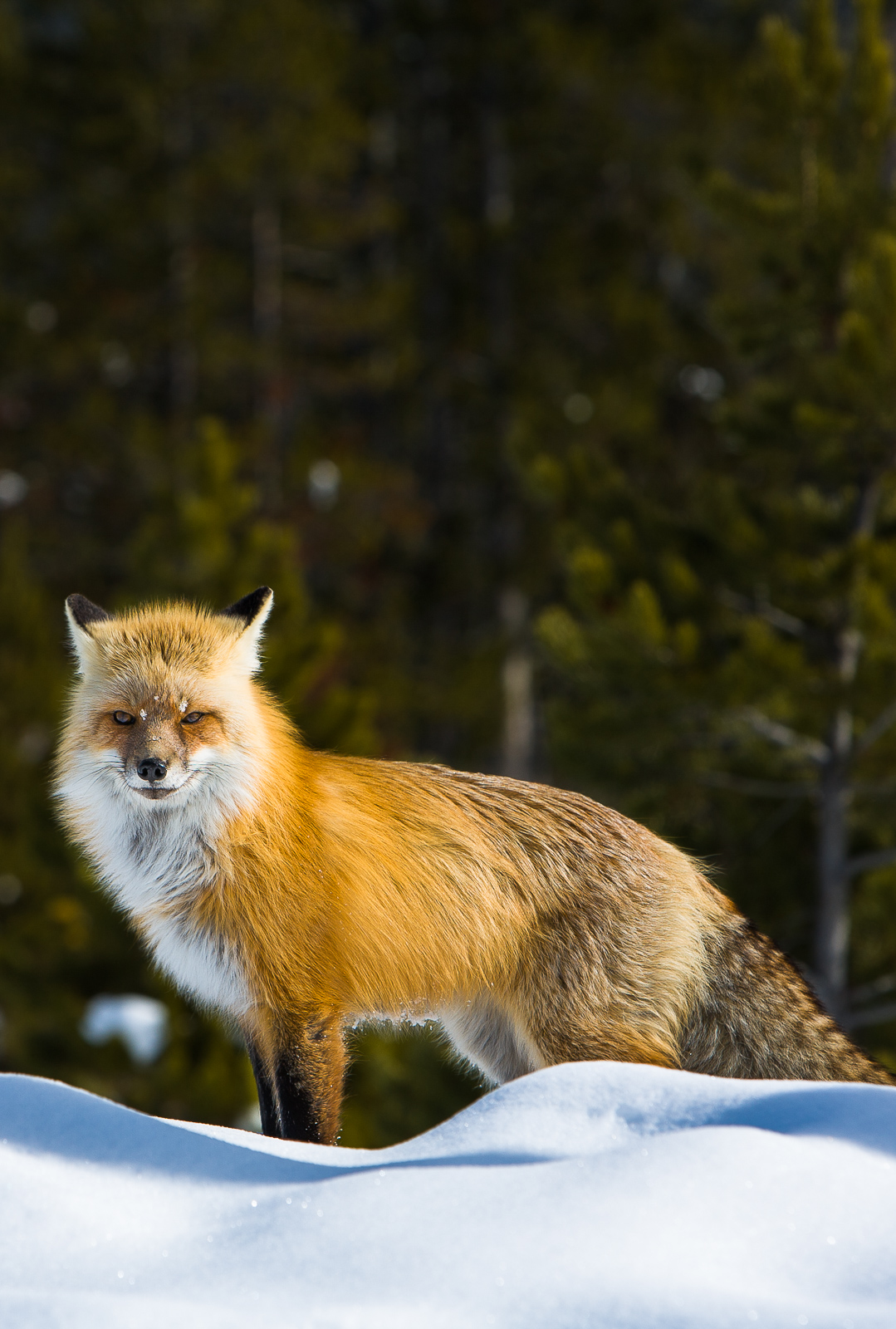 Sheer Fox,Grand, Teton National Park,antarctic,red,fox,vertical,black, photo