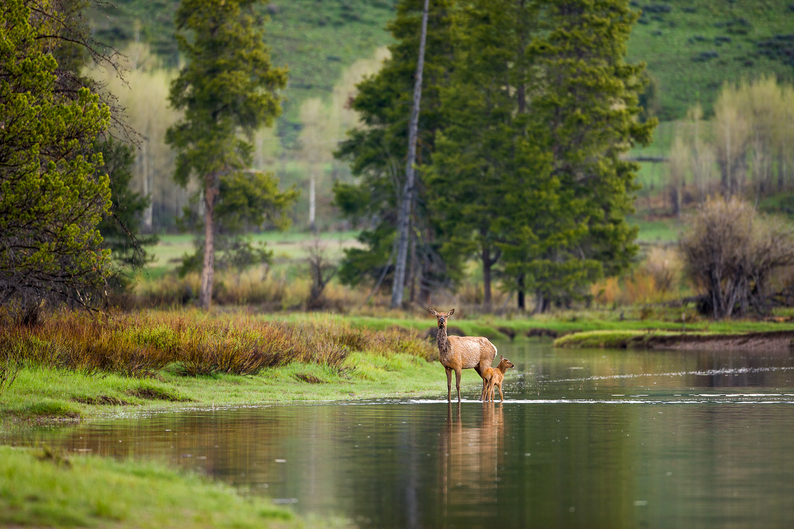 Walking on Water,Grand Teton National Park,reflection,trees,water,horizontal, elk, photo