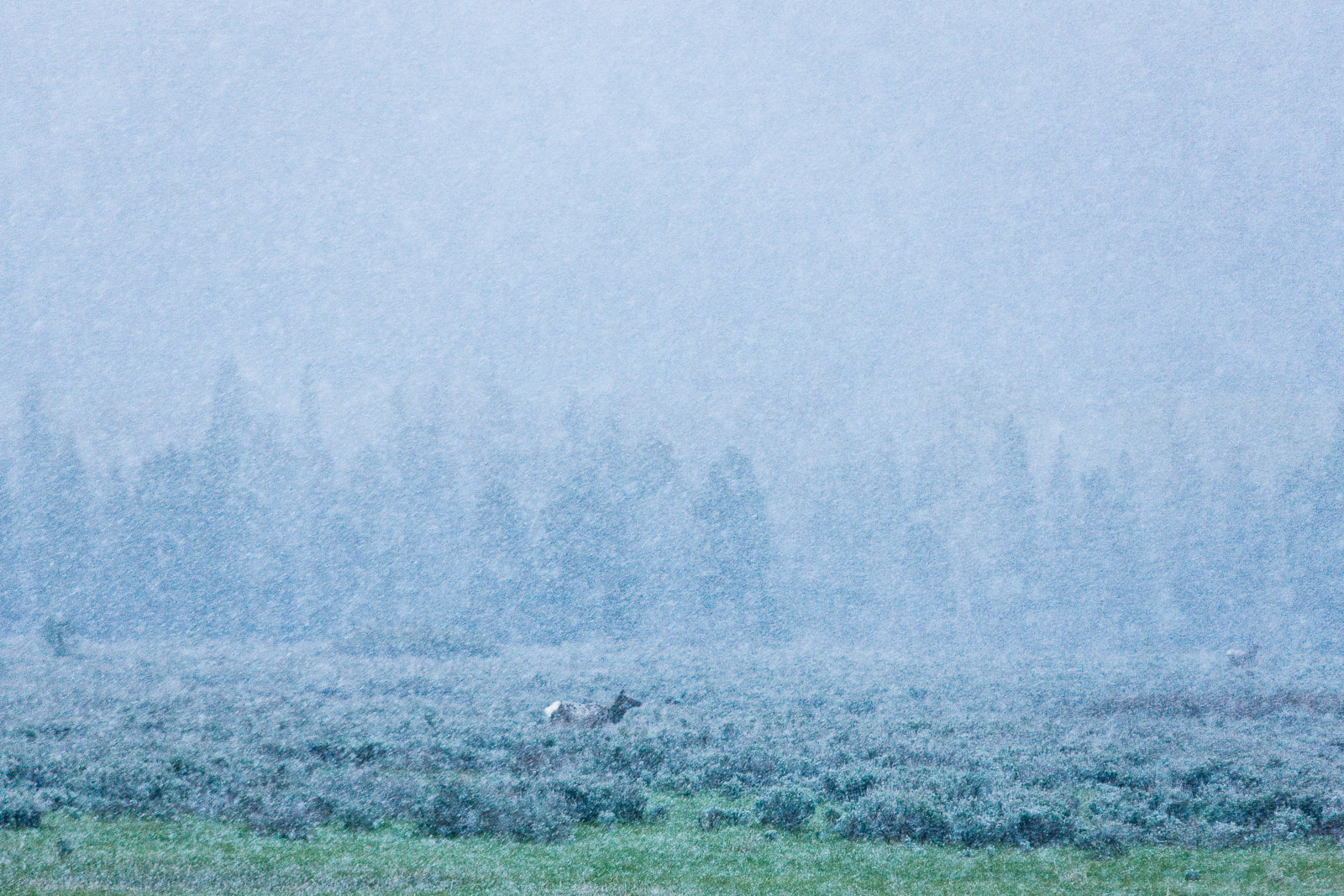 Among the spring sage grass a cold late winter storm finds elk feeding in the early morning.