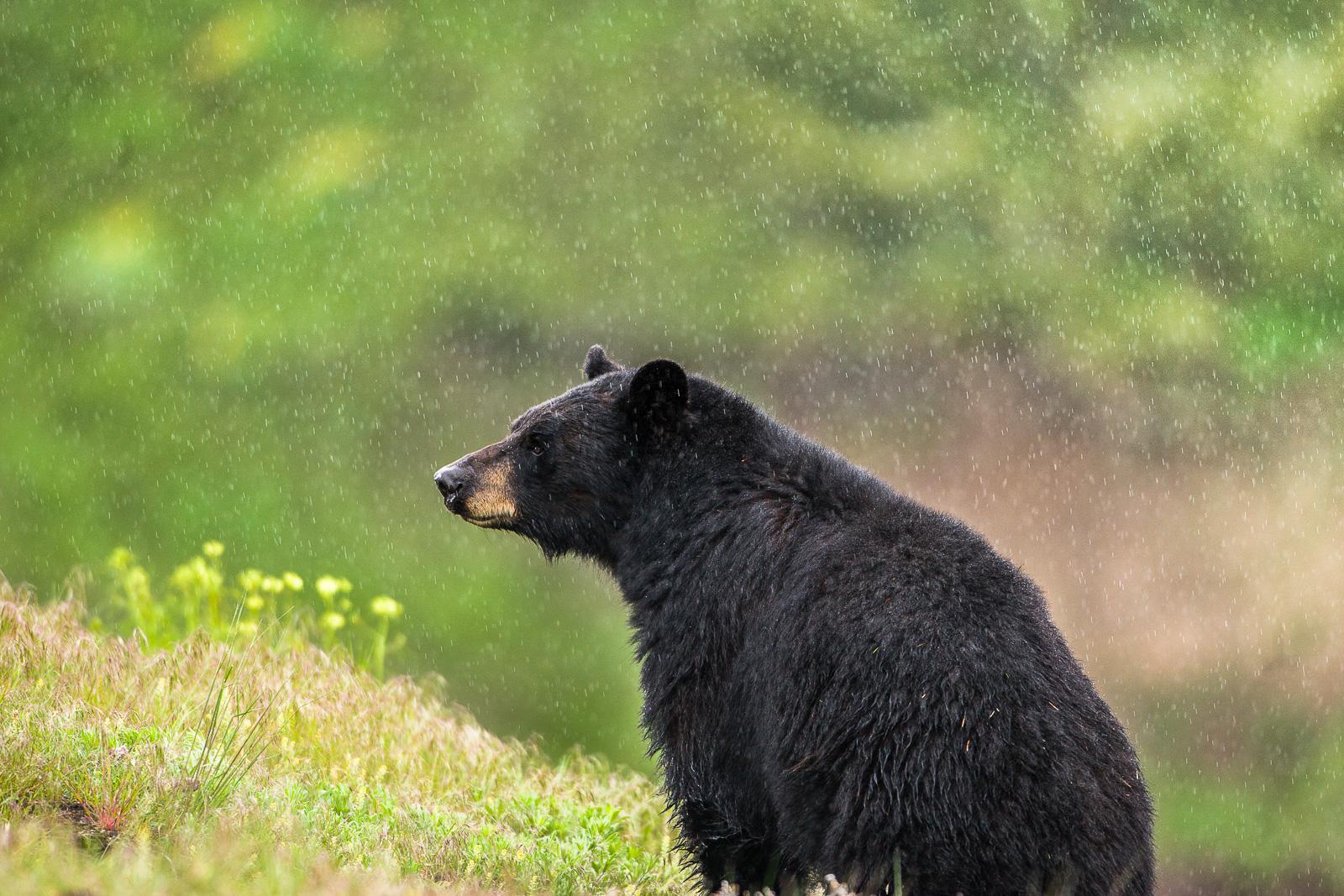 Bearly Raining,Yellowstone, National Park, Wyoming,black,bear,water,spring,green, photo