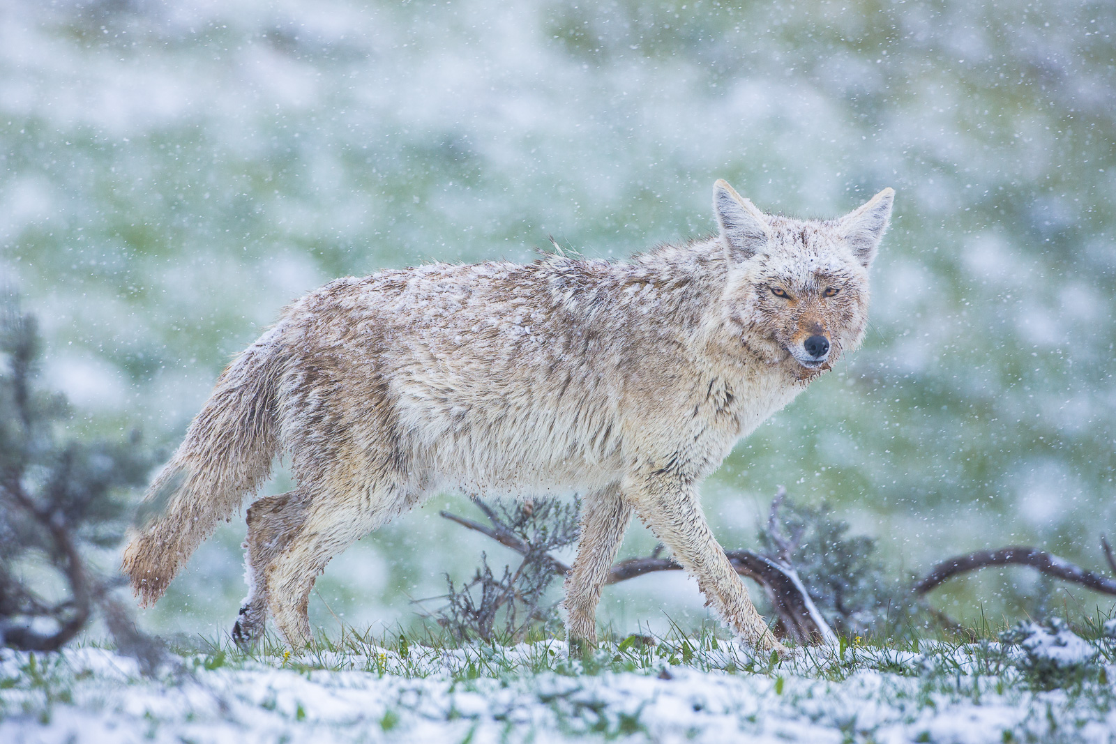 Up to No Good,Yellowstone National Park,spring,snow,valley,snow,Spring,Srorm, photo