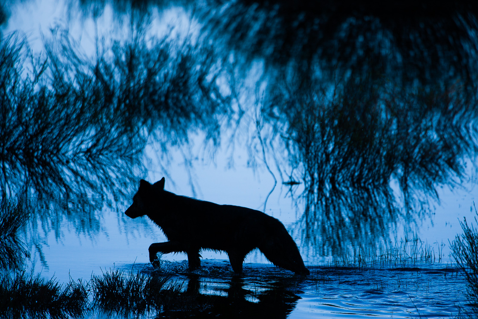 Shadow Walker,Yellowstone National Park,shadow,walker,black,wolf,horizontal,blue, photo