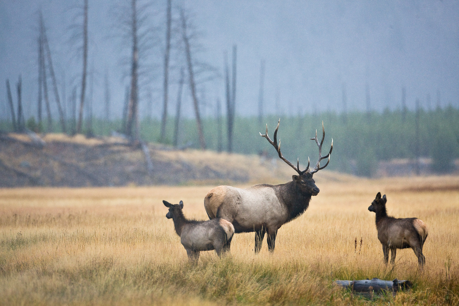 Bull elk keeps guard for predators and other competing bull elks during the rut season of autumn.