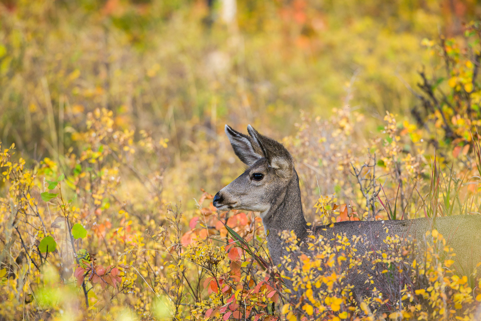 In the Yellow,Grand Teton National Park,yellow, deer,food,autumn, photo