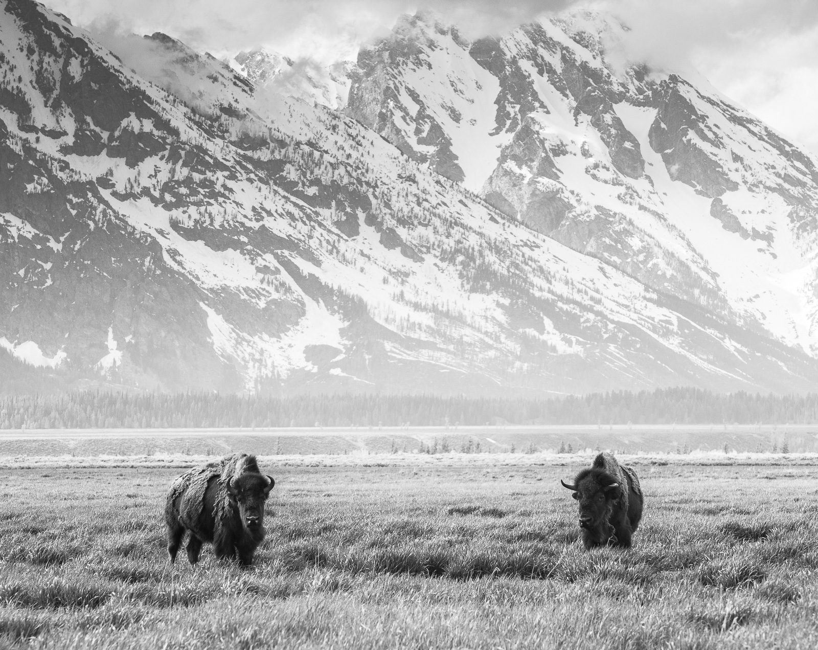 Free to Roam, Bison, Horizontal, Mountains, Wyoming, landscape, wildlife, Grand Teton National Park, BW, B&W, Black, White, photo