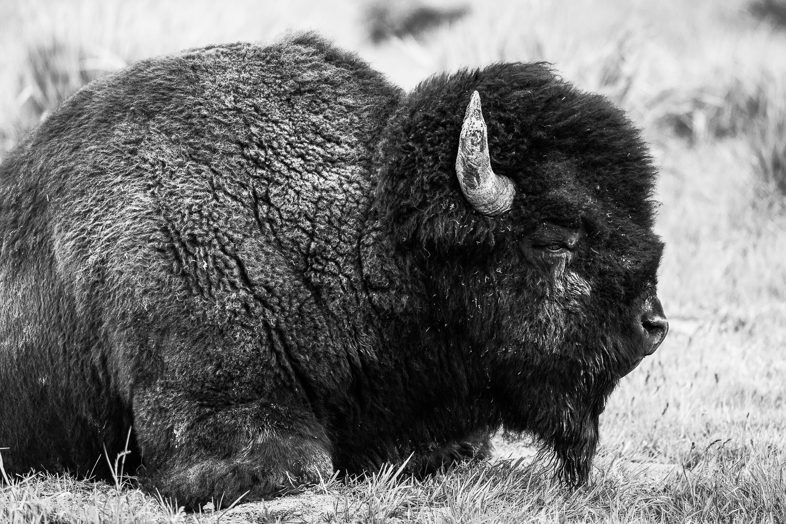 Just Be, Bison, Horizontal, Wyoming, Yellowstone National Park, wildlife, Groove, BW, B&W, Black, White, photo