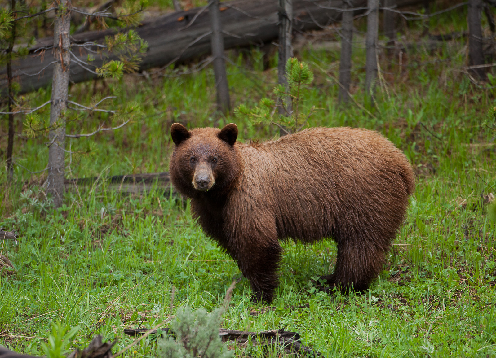 Looking at You,Brown bear,Grizzly Bear,Horizontal,Wyoming,Yellowstone National Park,wildlife, bear, photo