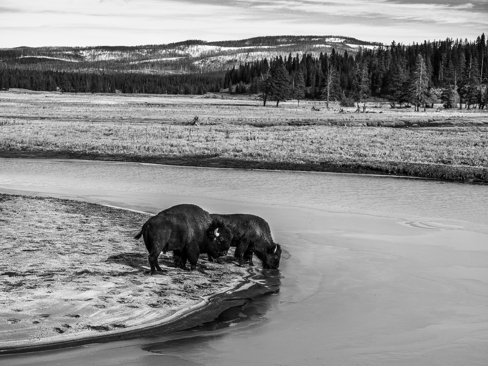 Pair of Bison drink the icy waters of Pelican Creek in Yellowstone National Park. The only place in the United States where bison...
