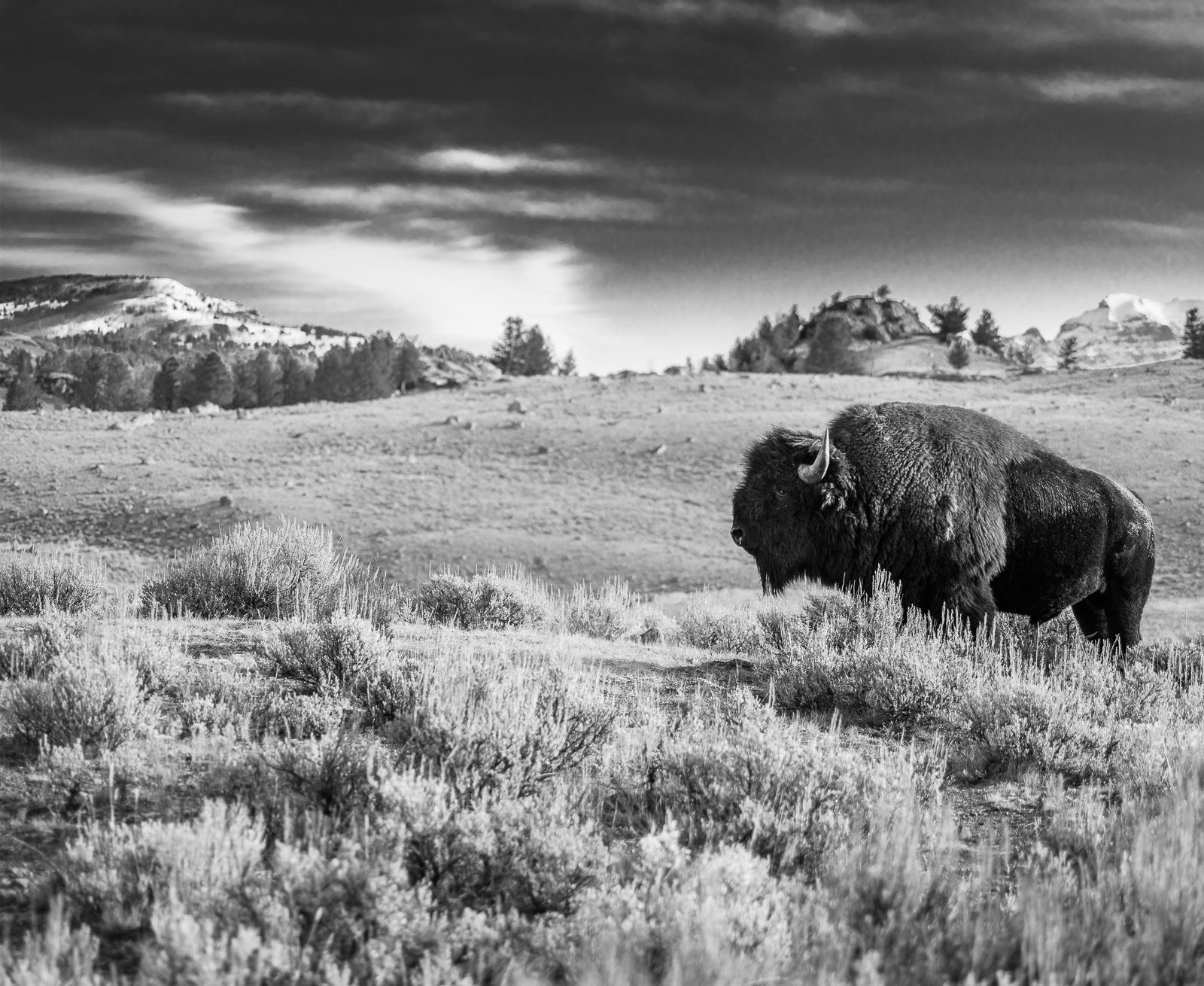 Classic Buffalo, Bison, Black and White, Yellowstone National Park, horizontal, Landscape, BW, B&W, Black, White, photo