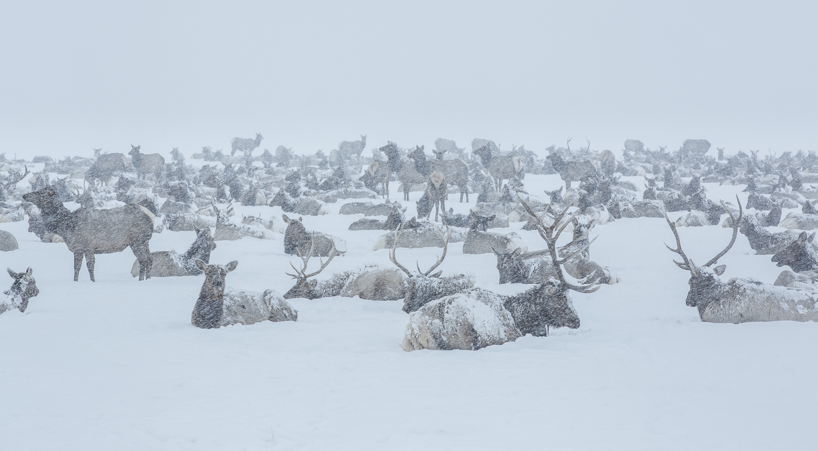 The Big Reunion,National Elk Refuge, Wyoming,cold,Winter,valley, elk, photo