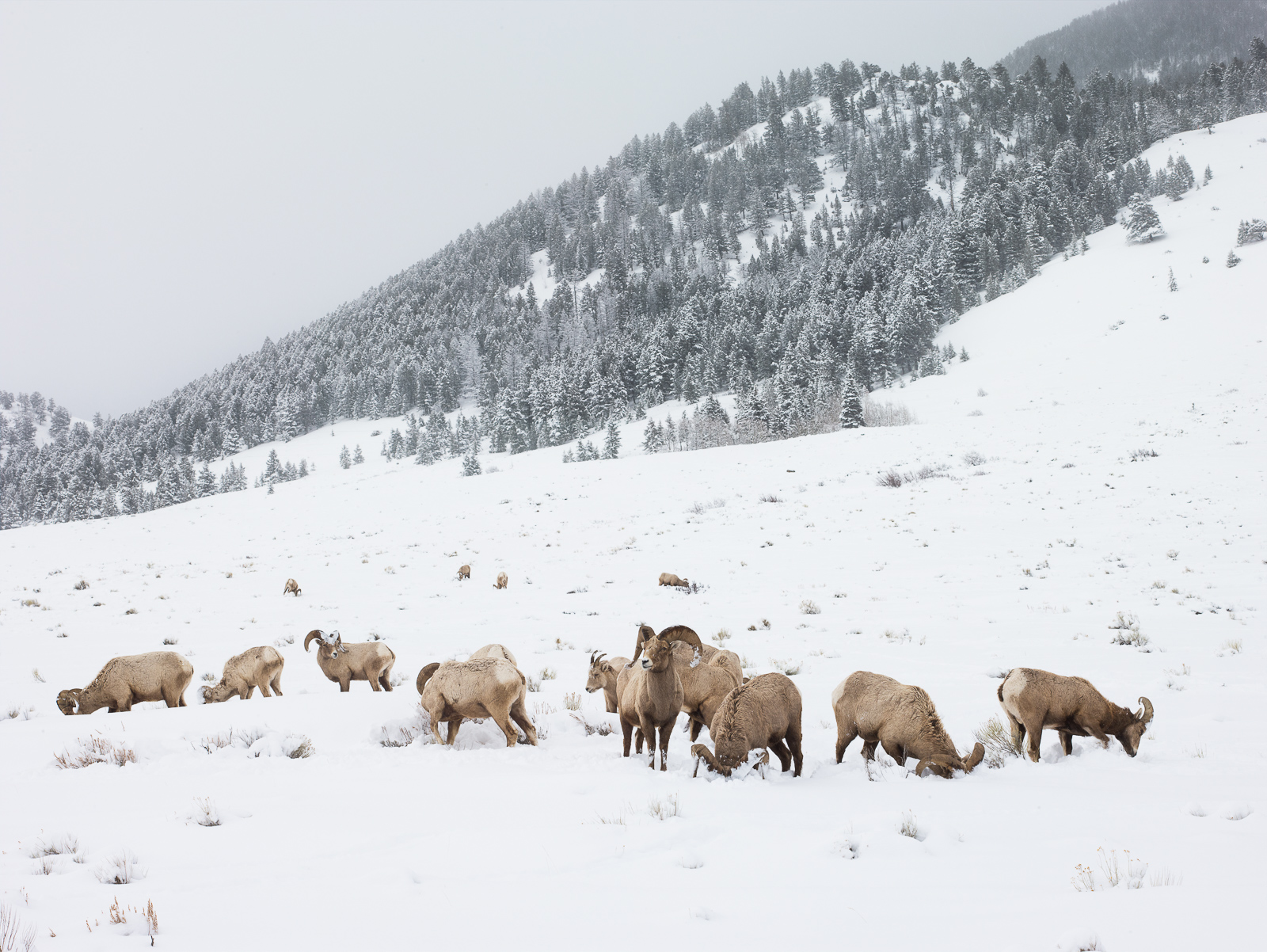 Big horn sheep, Elk Wildlife Refuge, Wyoming, winter, photo