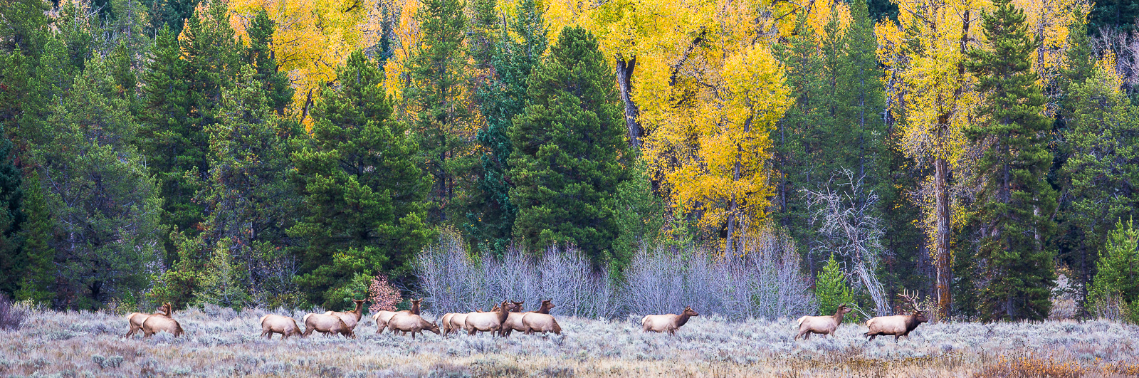With the bull at front this herd of elk begins their daily journey from the grasslands to the woods for safer territory during...