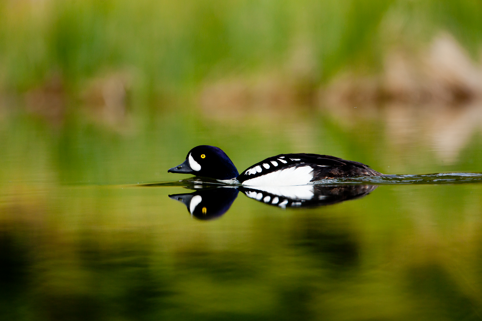 Barrow's Goldeneye protects his mate from another male to ensure his companionship.