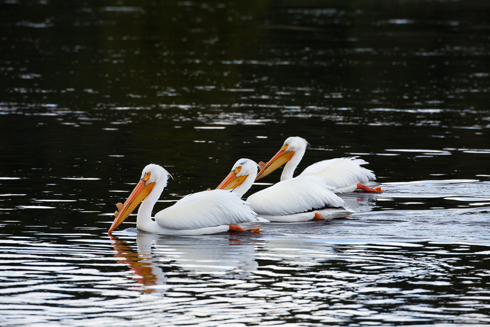 Swimming in unison these White Pelicans swim along the Yellowstone River looking for their next meal.