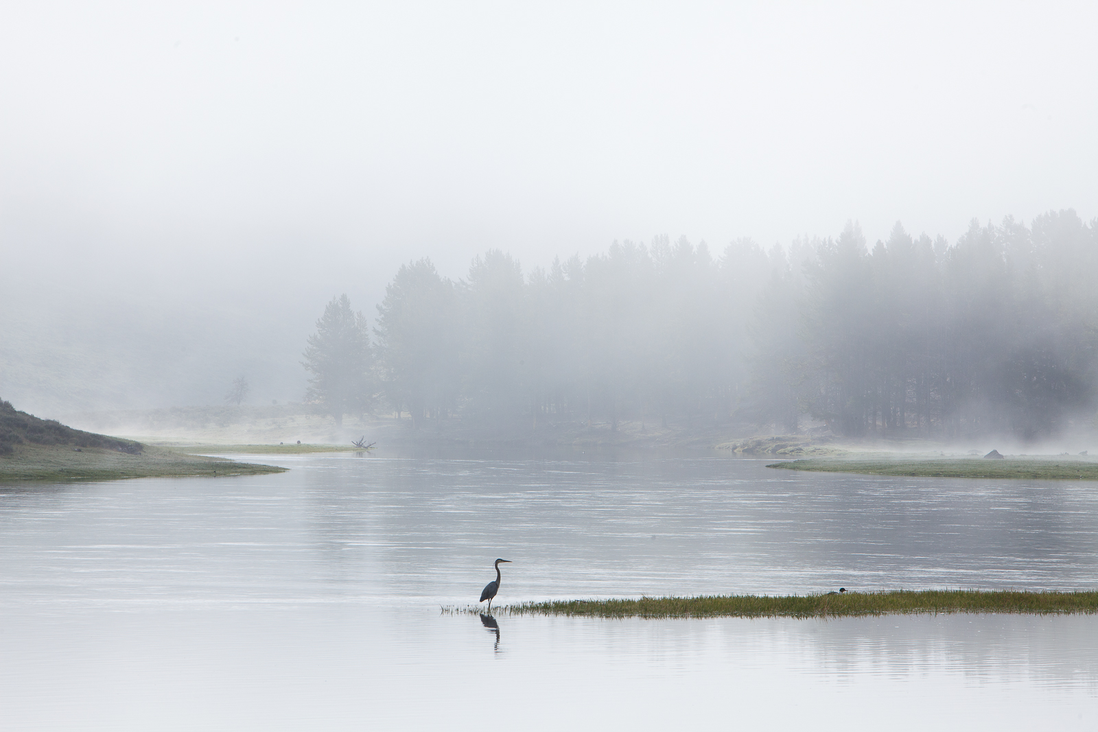 Blue on the Yellow,Bird,  Great Blue Heron,Spring,Yellowstone National Park, Yellowstone River, photo
