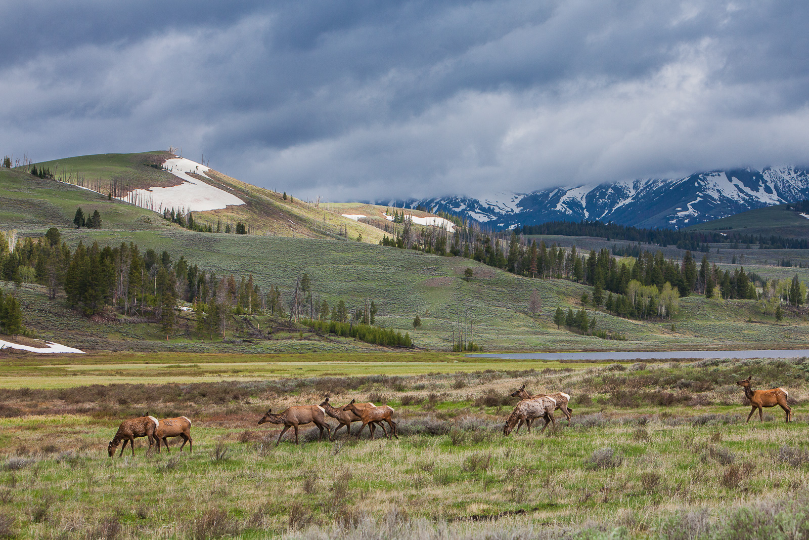 Elk on the Move,Elk,Mammal,Spring,Yellowstone National Park, Wyoming,Lake, photo