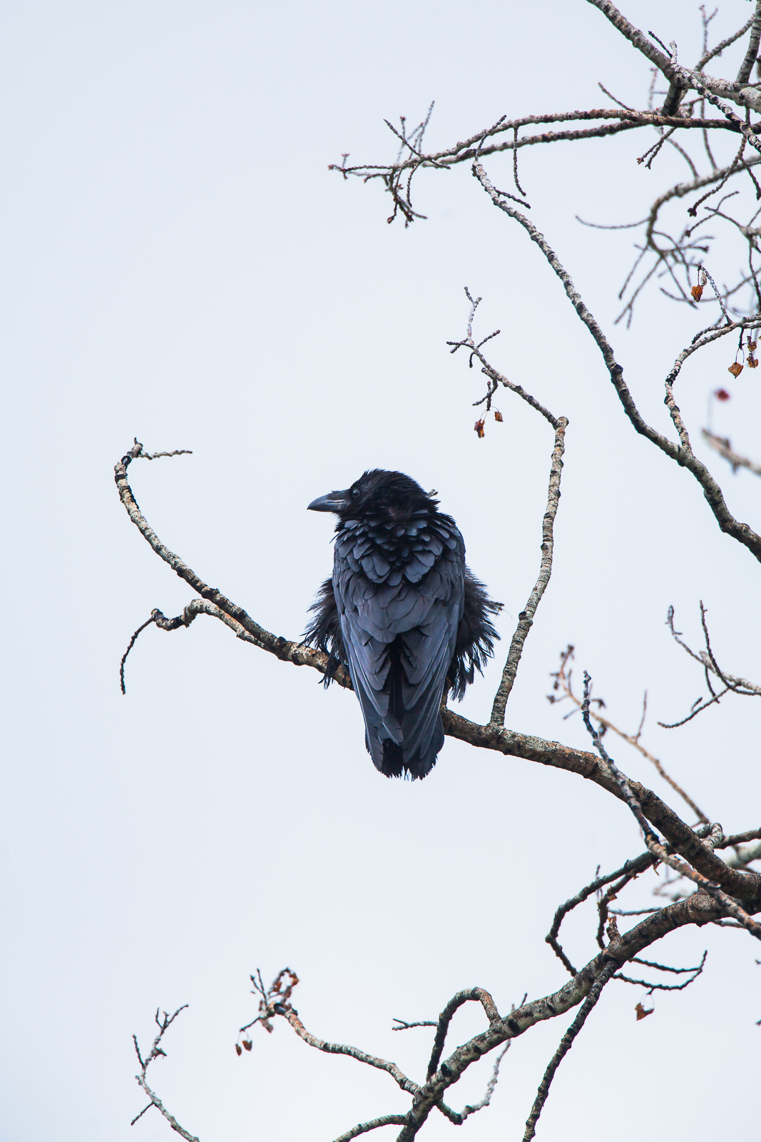 The perfect perch for a Raven scouring sky and land for its next meal. Smarter than your average bird.