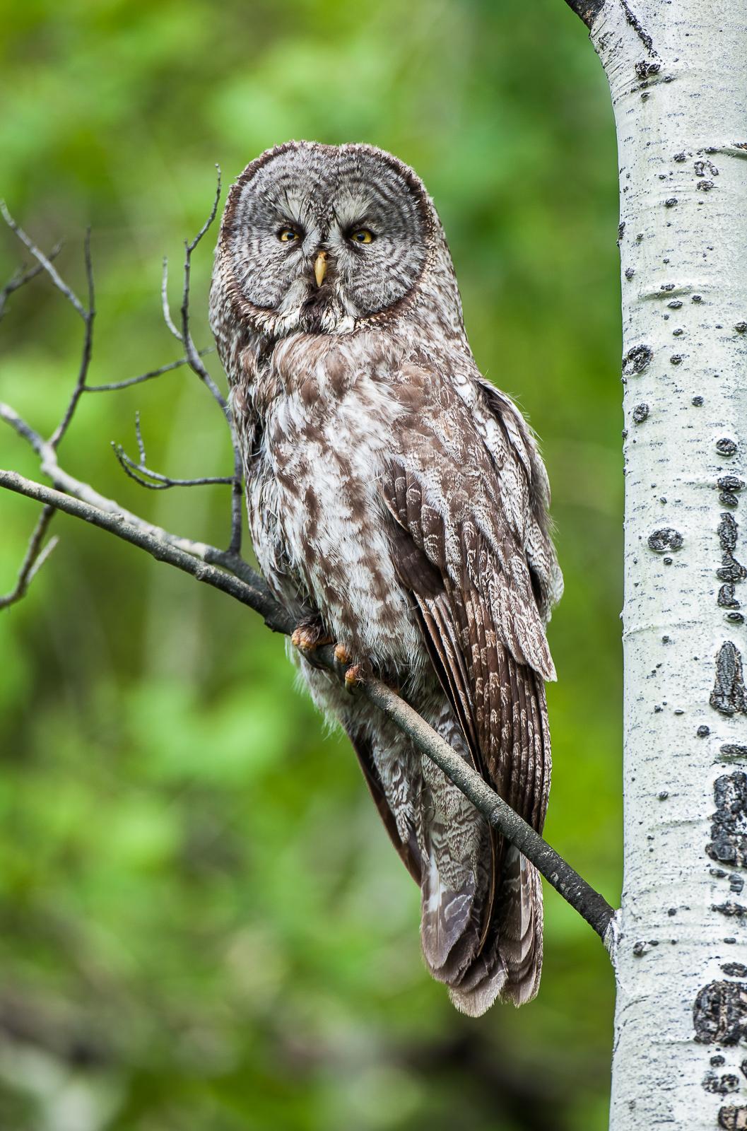 Eyeing You,Bird,Diurnal Raptor,Great Gray Owl,Spring,Grand Teton National Park, Wyoming, photo